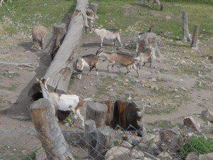Herd Carmelis