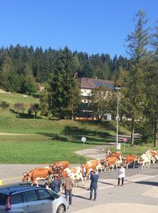 la-descente-des-vaches