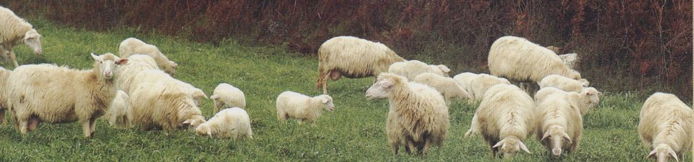 Schafe Bussu