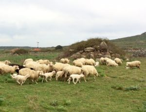 sheep and stone Sardinia